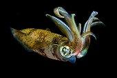 Bigfin Reef Squid at night Indonesia