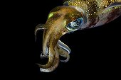 Bigfin Reef Squid at night Indonesia