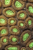 Close-up of Brain Coral Indonesia
