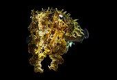 Broadclub Cuttlefish at night Indonesia