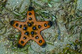Horned Starfish on reef Indonesia