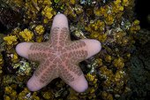 Cushion Star on reef Indonesia