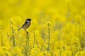 Male Stonechat perched on rape seed flower at spring GB