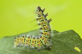 Caterpillar Emperor moth on European Bistort France  ; Grand Etang de Gerardmer