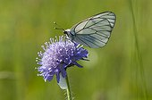 Black-veined White on Scabiosa flower in hayfield  France