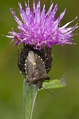 Forest Bug on a Knapweed flower Lorraine France