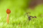 Ant carrying a dead mosquito, Vosges, France