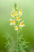 Butter and eggs flowers in a wasteland Lorraine France