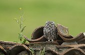 Little owl standing among roof tiles at spring Spain