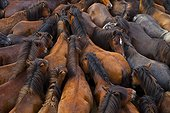 Gathering Horses Rapa das bestas Galicia Spain  ; Sabucedo Pontevedra