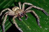 Huntsman spider on a leaf La Selva Costa Rica