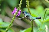 Violet-headed Hummingbird eating nectar Rara Avis Costa Rica