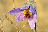 Greater Pasque Flower Devinska Kobyla Reserve Slovakia