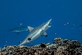 Grey Reef Shark and Cleaner Wrasse Moorea French Polynesia