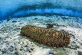 Prickly redfish in the lagoon Tuamotu French Polynesia