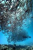 Bigeye trevallies and diver Tahiti French Polynesia