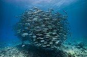 Bigeye trevallies Tahiti French Polynesia