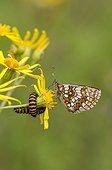Fritillary and Cinnabar moth caterpillar on Ragwort flowers