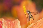 Marmalade Hoverfly on stamen in a garden Lorraine France