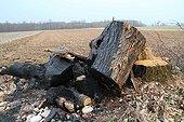Châtaignier coupé et brulé avec de vieux pneus France ; Destruction de biodiversité en milieu rural