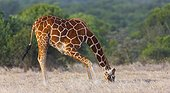 Reticulated Giraffe eating Ol Pajeta Conservancy Kenya