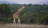 Reticulated Giraffe walking Ol Pajeta Conservancy Kenya