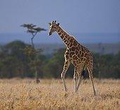 Reticulated Giraffe running Ol Pajeta Conservancy Kenya
