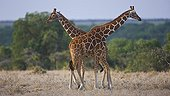 Reticulated Giraffes Ol Pajeta Conservancy Kenya