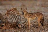 African wolf eating a dead zebu in Senegal