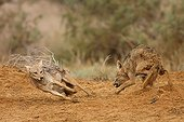 African wolves protecting a dead zebu in Senegal