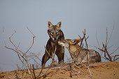 Male African wolf with female in heat   Senegal