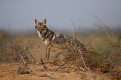 Male African wolf in Senegal