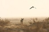 Male African wolf menaced by a blacksmith lapwing in Senegal