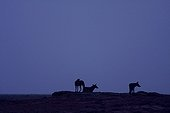 African wolves at dawn in Senegal