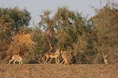Pack of African wolves at sunrise in Senegal