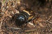 Field Cricket in its burrow Lawn limestone France