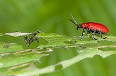 Lily beetle eating a Purple Turk's Cap lily leaf France
