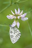 Marbled White on Coronilla flower Alsace France  ; Conservatory Alsatians Sites