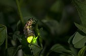 Female Glow-worm glowing in a garden at night France