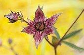 Marsh Cinquefoil flower Bog Lispach Vosges France
