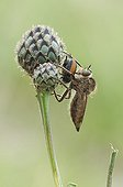 Robber Fly catching a Beetle Lawn limestone Lorraine France