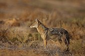 Young african wolf in winter  Senegal