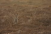 Young african she-wolf sitting in straw   Senegal