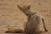 African she-wolf grooming   Senegal