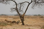 Young african wolves playing in a tree in Senegal