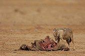 Louve africaine mangeant un cadavre de Phacochère au Sénégal ; Série Louve adulte contre bébé phacochère:. la louve mange une femelle phacochère tuée par les paysans