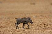 Baby wart hog looking for her mother in Senegal
