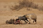 Baby wart hog chasing a she-wolf from the body of her mother