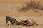 Baby wart hog near her dead mother eated by a she-wolf