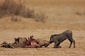 Bébé Phacochère auprès de sa mère mangée par une Louve ; Série Louve adulte contre bébé phacochère:. La louve mange une femelle phacochère tuée par les paysans; le bébé phacochère tente de relever sa maman pendant que la louve s'en va rejoindre la meute